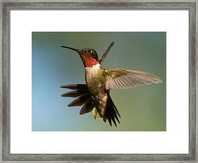 Hummingbird Beauty Framed Print