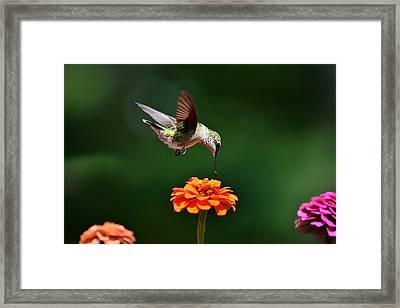 Hummingbird Bullseye Framed Print