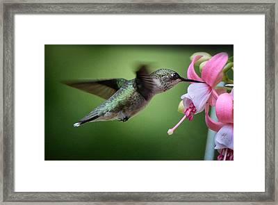 Hummingbird Carbs Framed Print by Amy Porter