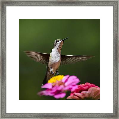 Hummingbird Framed Print by Christina Rollo