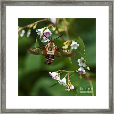 Hummingbird Clearwing... Framed Print by Nina Stavlund