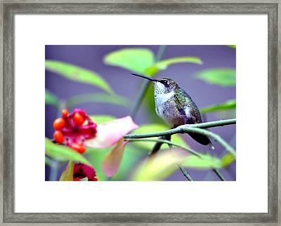 Hummingbird Framed Print by Deena Stoddard
