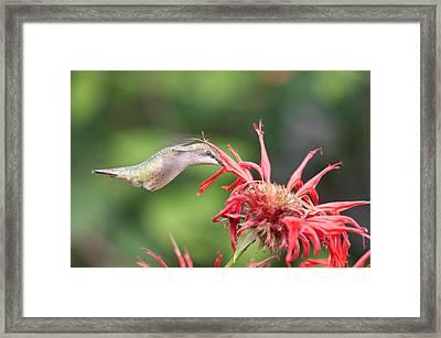 Hummingbird Defying Gravity Framed Print