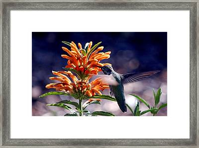 Hummingbird Delight Framed Print by AJ  Schibig