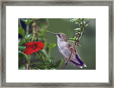 Hummingbird Delight Framed Print by Sandi OReilly