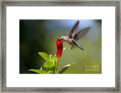 Hummingbird Dipping Framed Print by Debbie Green