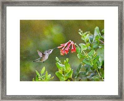 Hummingbird Dives In  Framed Print