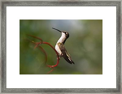 Hummingbird Eloquent Appeal Framed Print by Christina Rollo