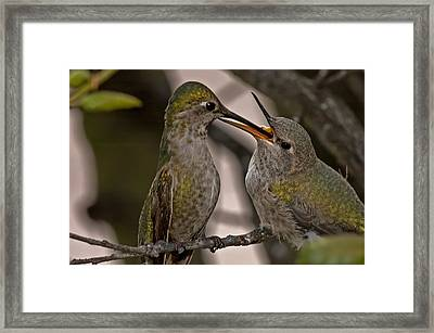 Hummingbird Feeding Baby Framed Print