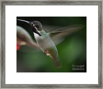 Framed Print featuring the photograph Hummingbird Male Anna In Flight Over Perch by Jay Milo