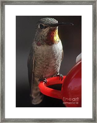 Framed Print featuring the photograph Hummingbird Female Anna by Jay Milo
