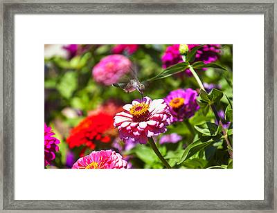 Hummingbird Flight Framed Print by Garry Gay
