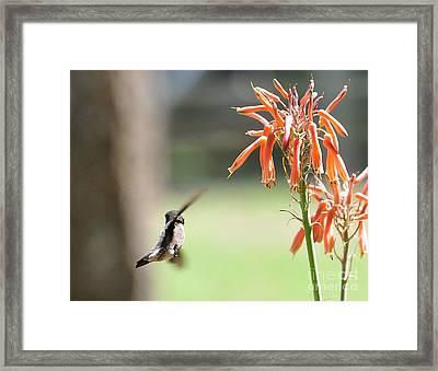 Hummingbird Flight Orange - Change In Path Of Flight Framed Print by Wayne Nielsen