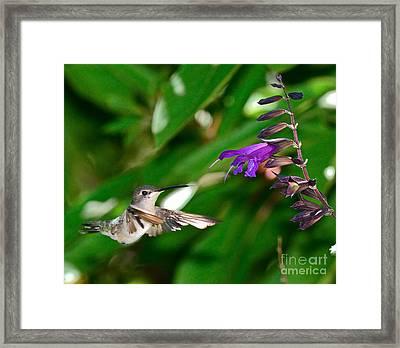 Hummingbird Floats At Purple Bloom Framed Print by Wayne Nielsen