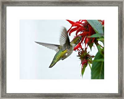 Hummingbird Focused On The Scarlet Bee Balm Framed Print