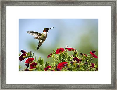 Hummingbird Frolic With Flowers Framed Print