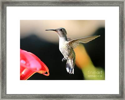 Hummingbird Happiness Framed Print by Carol Groenen
