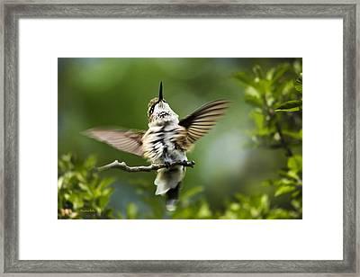 Hummingbird Happy Dance Framed Print by Christina Rollo