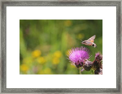 Framed Print featuring the photograph Hummingbird Hawk-moth - Macroglossum Stellatarum by Jivko Nakev