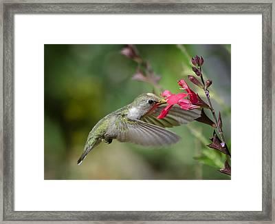Hummingbird Heaven  Framed Print by Saija  Lehtonen