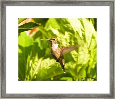 Hummingbird Highlighted By The Sun Framed Print