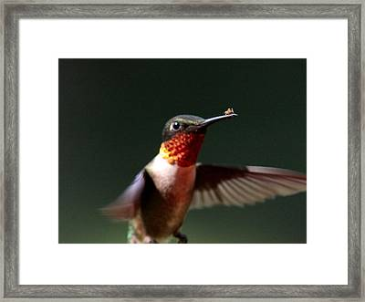 Hummingbird - Hitching A Ride - Ruby-throated Hummingbird Framed Print by Travis Truelove