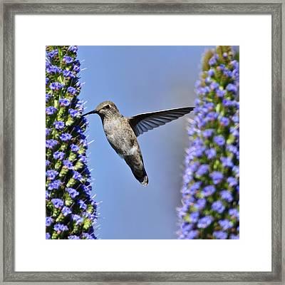 Hummingbird Hover Framed Print