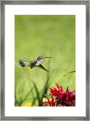 Hummingbird Hovering Over Flowers Framed Print