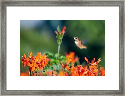 Hummingbird IIi Framed Print