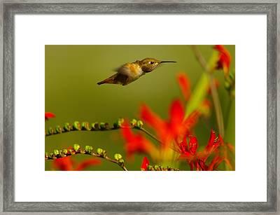 Hummingbird In A Rush Framed Print by Jeff Swan