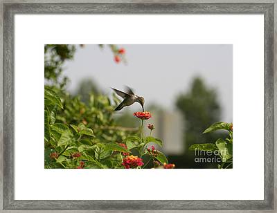 Hummingbird In Action 1 Framed Print by Amanda Collins