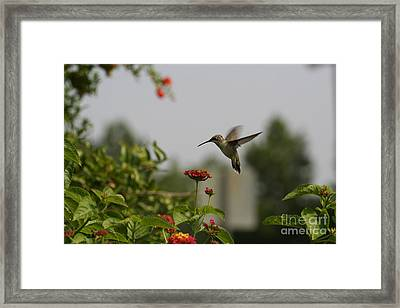 Hummingbird In Action 2 Framed Print by Amanda Collins