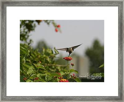 Hummingbird In Action 3 Framed Print by Amanda Collins
