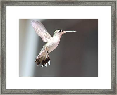 Hummingbird In Flight Framed Print by Christine Hafeman
