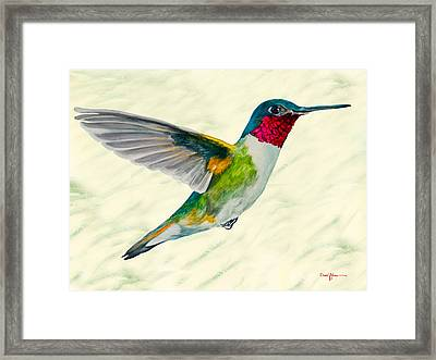 Da103 Broadtail Hummingbird Daniel Adams Framed Print