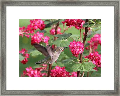 Hummingbird In The Flowering Currant Framed Print by Angie Vogel
