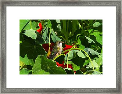 Framed Print featuring the photograph Hummingbird In The Nasturtiums by Marjorie Imbeau