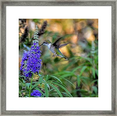 Framed Print featuring the photograph Hummingbird by John Johnson
