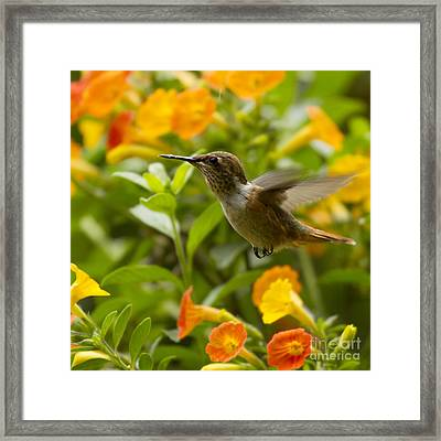 Hummingbird Looking For Food Framed Print by Heiko Koehrer-Wagner