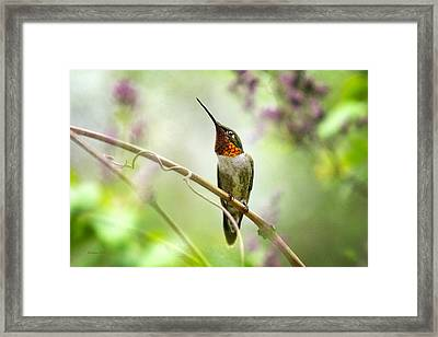 Hummingbird Looking For Love Framed Print by Christina Rollo