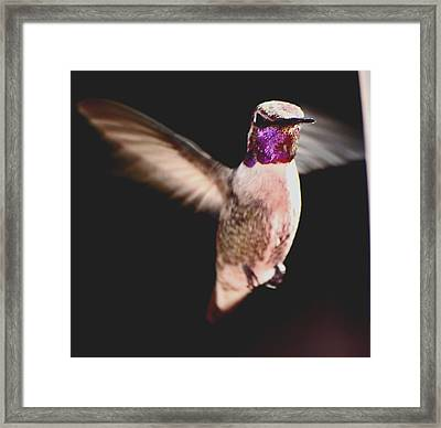 Framed Print featuring the photograph Hummingbird Male Anna In Flight  by Jay Milo