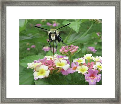 Framed Print featuring the photograph Hummingbird Moth by Donna Brown