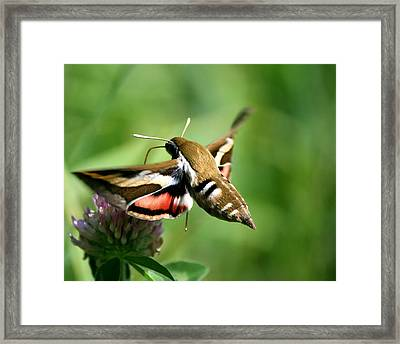 Hummingbird Moth From Behind Framed Print