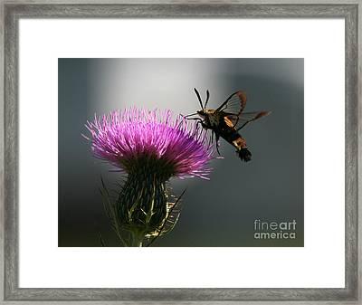 Hummingbird Moth II Framed Print by Douglas Stucky