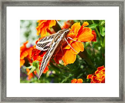 Hummingbird Moth On A Marigold Flower Framed Print