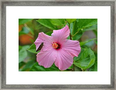 Framed Print featuring the photograph Hummingbird Moth On Pink Hybiscus by Jodi Terracina