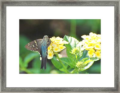 Framed Print featuring the photograph Hummingbird Moth On Yellow Flowers by Jodi Terracina