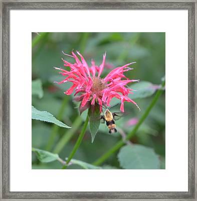 Hummingbird Moth Framed Print by Richard Bryce and Family