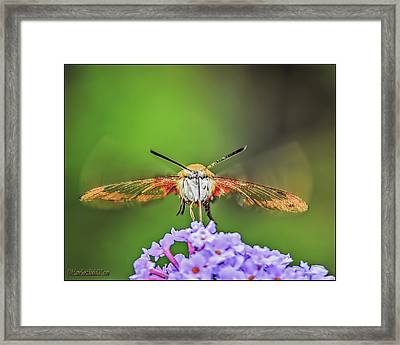 Hummingbird Moth Strike Framed Print
