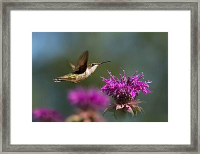Hummingbird Moving Along Framed Print by Christina Rollo
